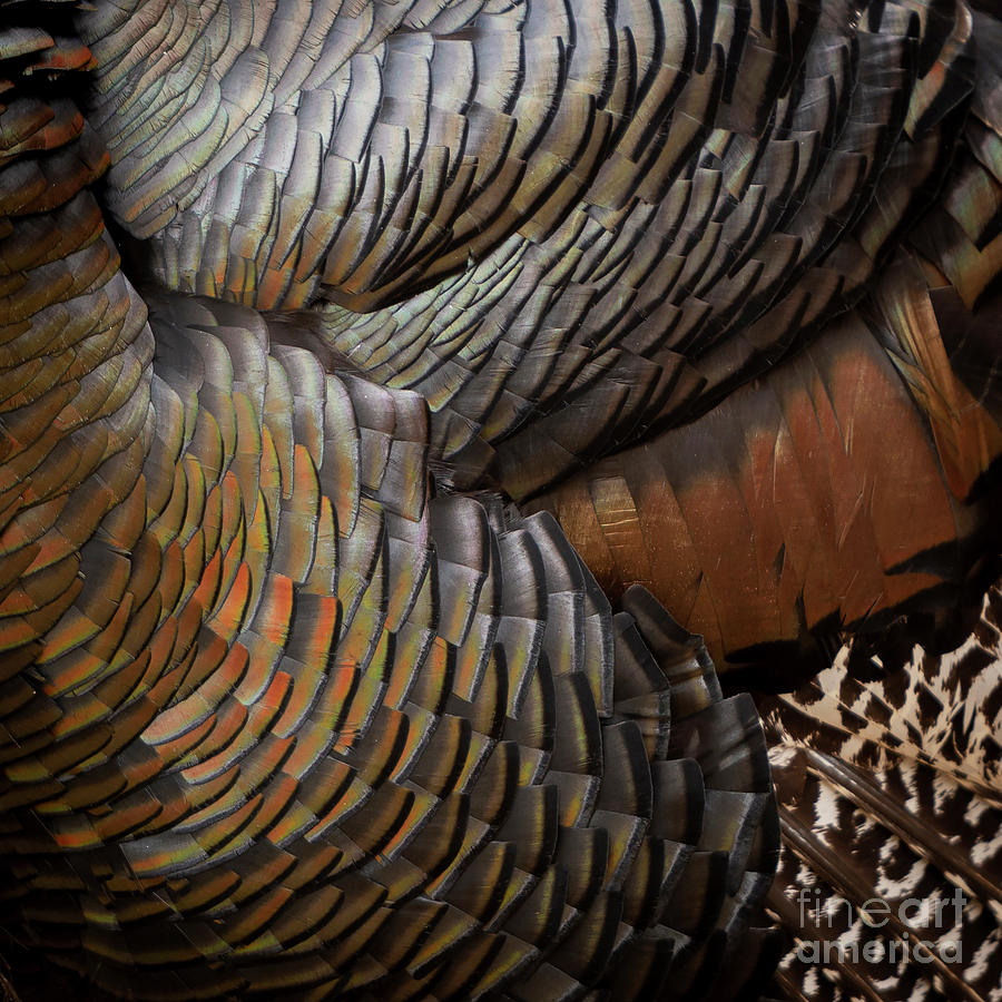 Turkey Feathers Background by Tim Hester