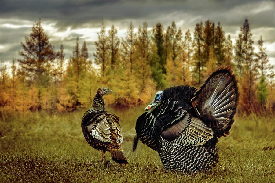 Turkey Courtship by Patti Deters