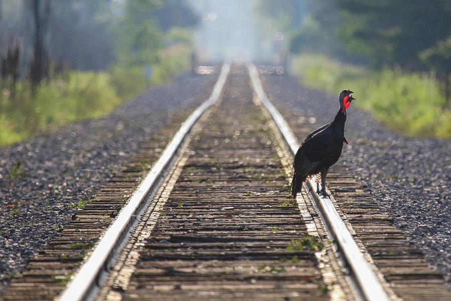 Turkey Tracks by Brook Burling