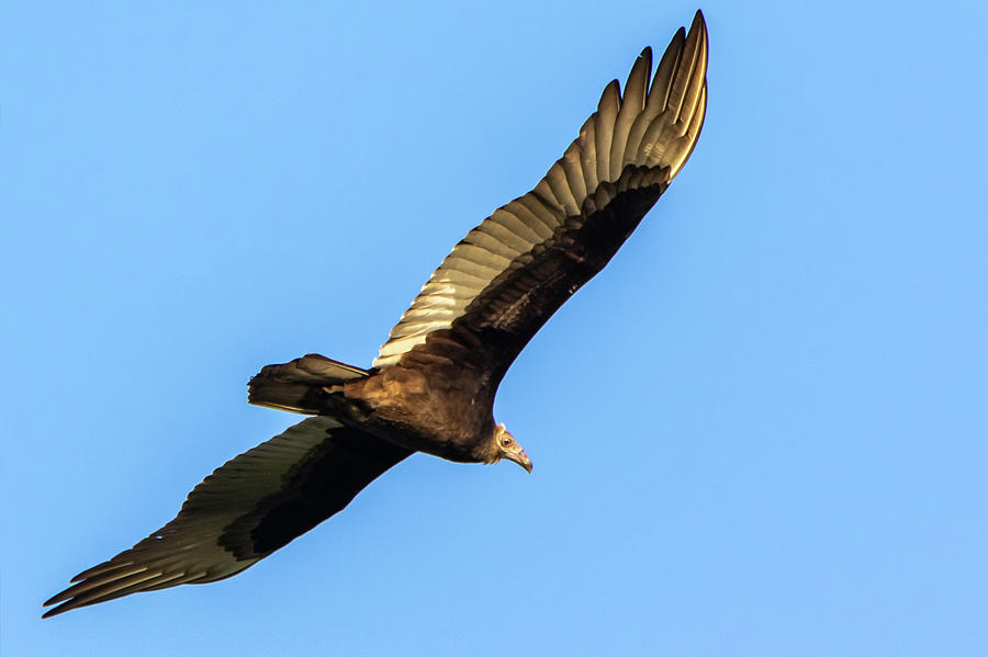 Turkey Vulture Flying in the Sky in Hueston Woods State Park, Ohio by Ami Parikh
