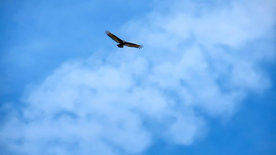 Turkey Vulture in Flight by Judy Kennedy