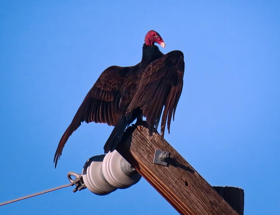 Turkey Vulture in Horaltic Pose by Judy Kennedy