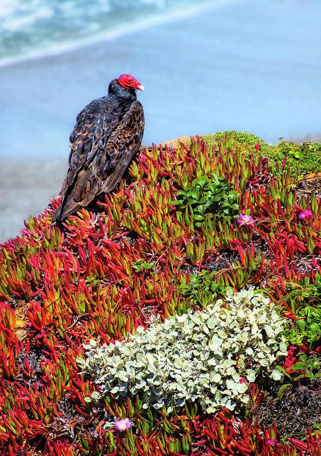 Turkey Vulture on a Coastal Bluff by Carolyn Derstine
