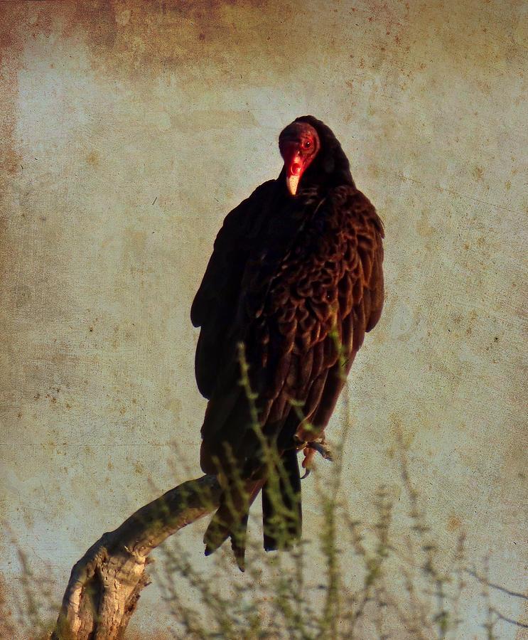 Turkey Vulture Vintage by Judy Kennedy