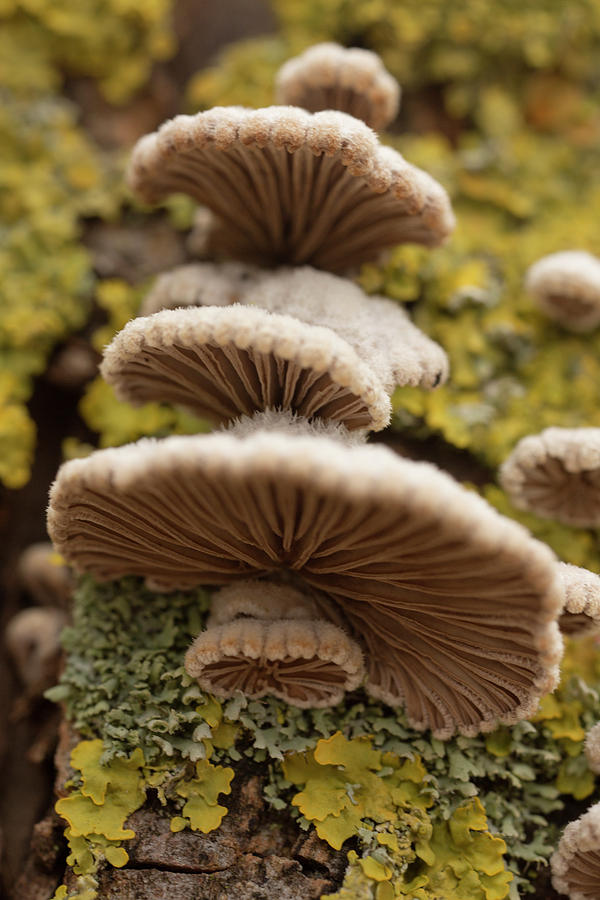 Schizophyllum Mushroom  with Moss by Iris Richardson