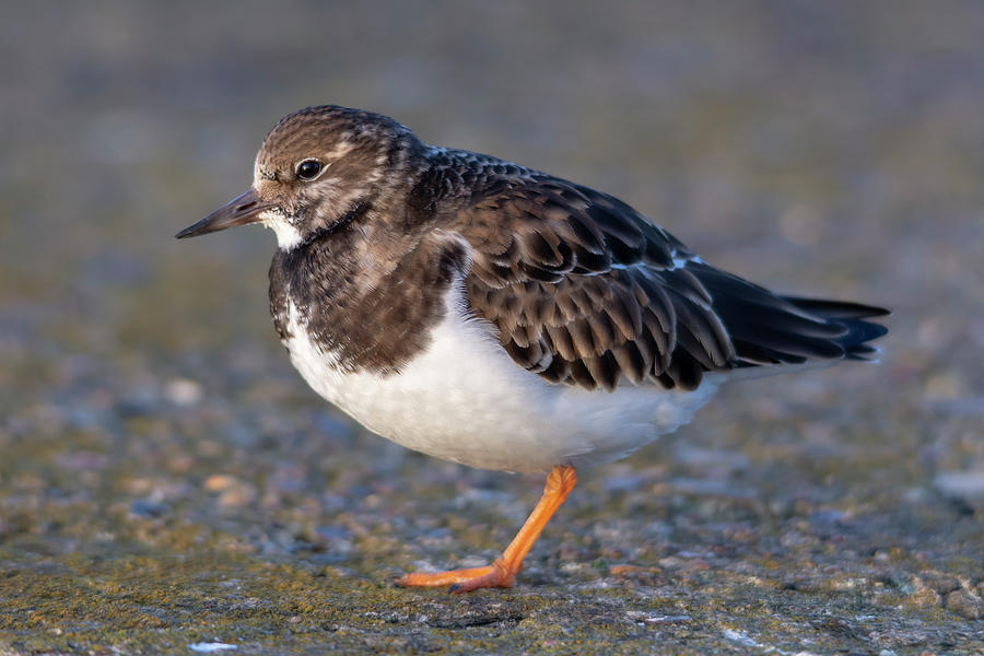 Turnstone Photograph - Turnstone by Steev Stamford
