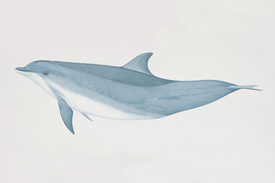 Tursiops Truncatus, Bottlenose Dolphin Digital Art by Martin Camm