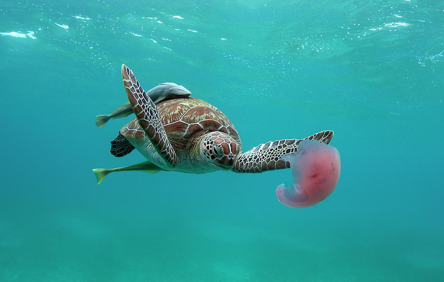 Turtle Eating Jellyfish Photograph by Alastair Pollock Photography