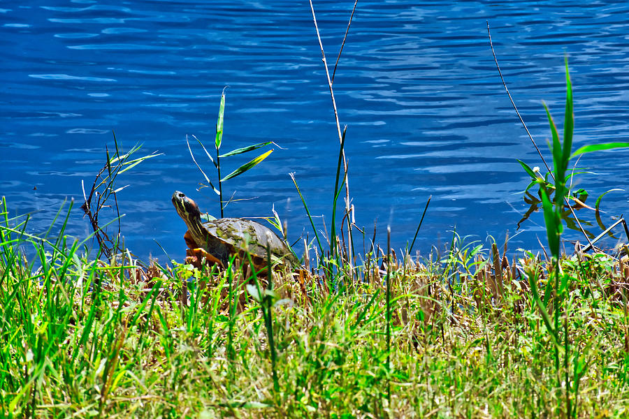 Turtle On The Bank Photograph