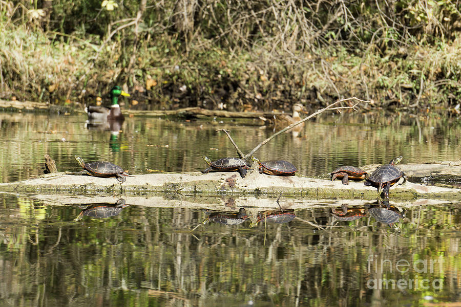 Turtles and Ducks by Randall Saltys