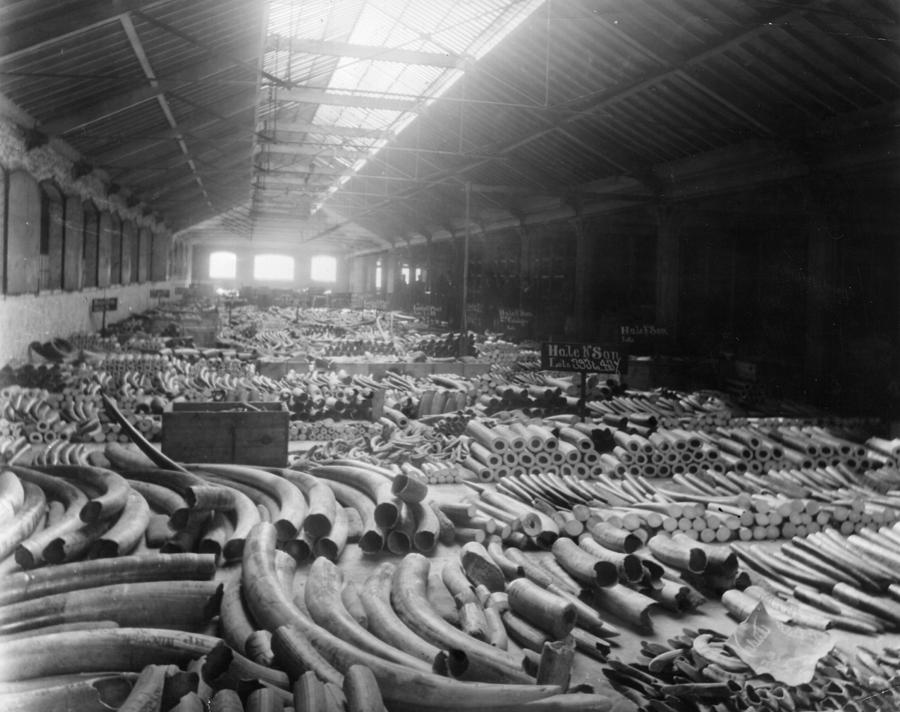Tusk Warehouse Photograph by Hulton Archive