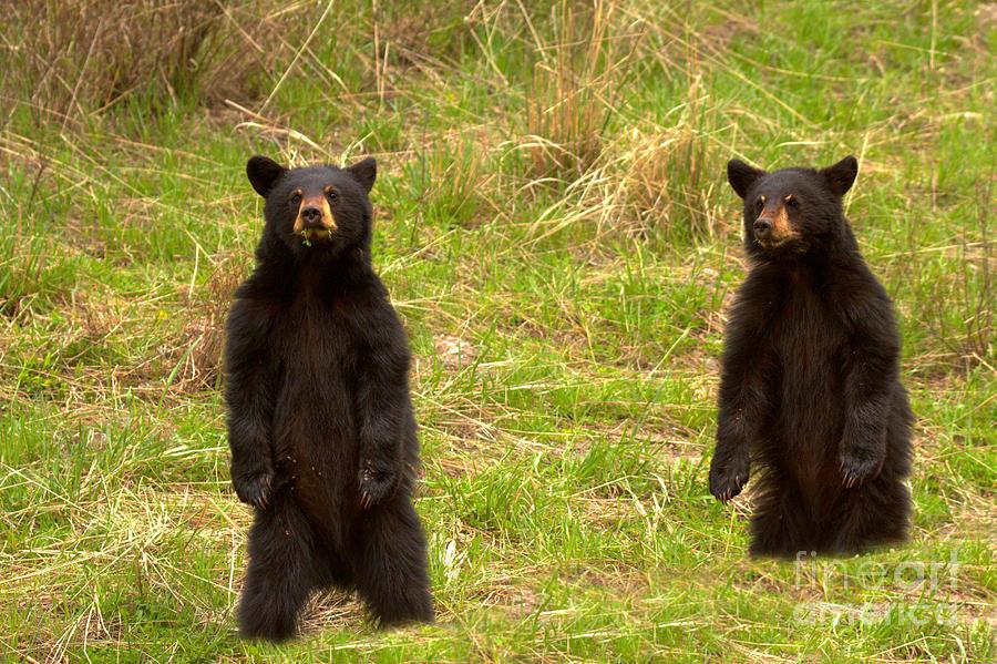 Twin Black Bears In The Grass by Adam Jewell