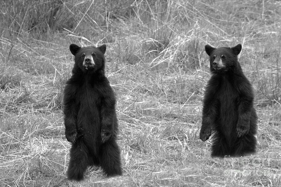 Twin Black Bears In The Grass Black And White by Adam Jewell