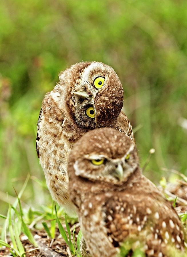 Owl Photograph - Twin Chicks by John Bates