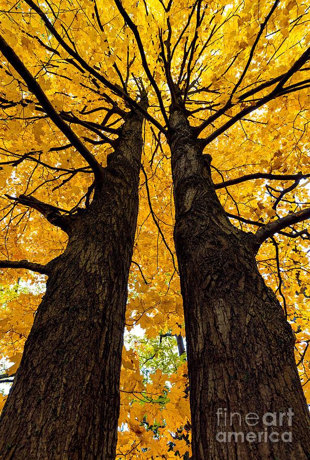 Twin Golden Maples by Alma Danison