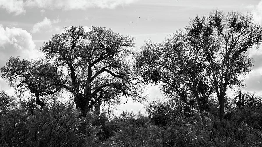 Twin Trees - BW by Juliana Swenson