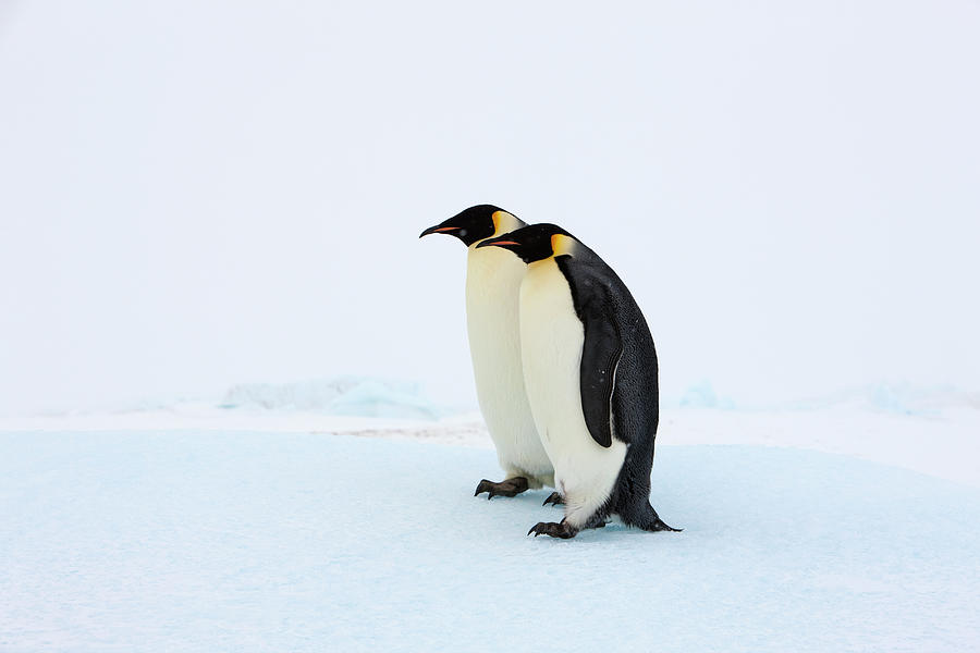 Two Adult Emperor Penguins Standing Photograph by Thomas Kokta