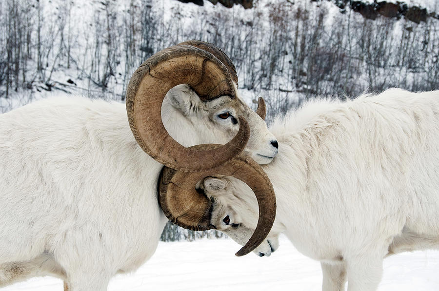 Two Affectionate Dall Sheep Ovis Dalli Photograph by Mark Newman