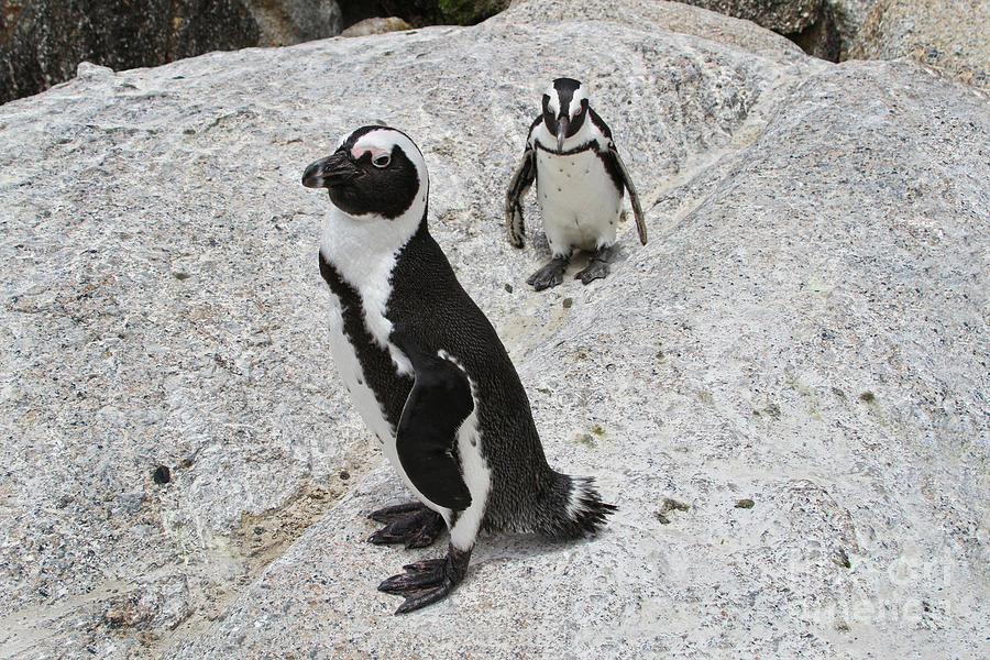 Two African Penguins by Catherine Sherman
