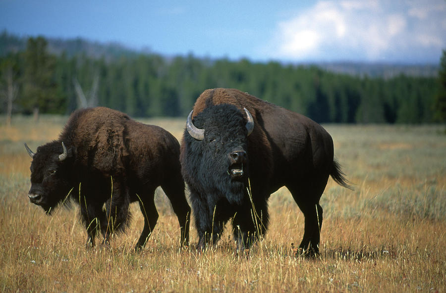 Two American Bison On The Grassy Plains Photograph by Gomezdavid