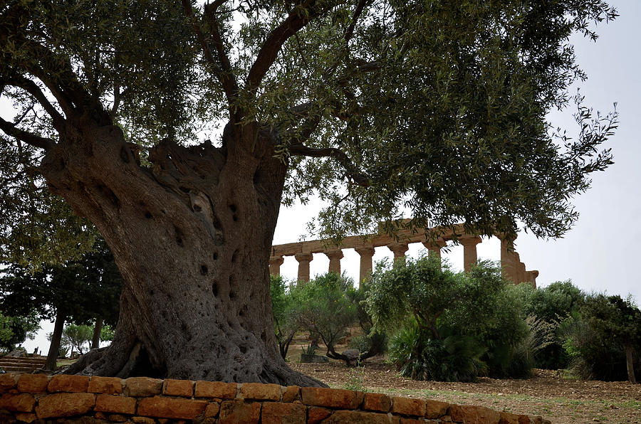 Two antiques - Olive tree and Greek temple by RicardMN Photography
