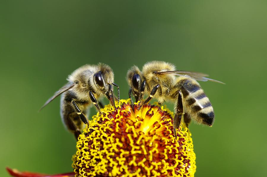 Two Bees On A Flower Photograph by Schnuddel