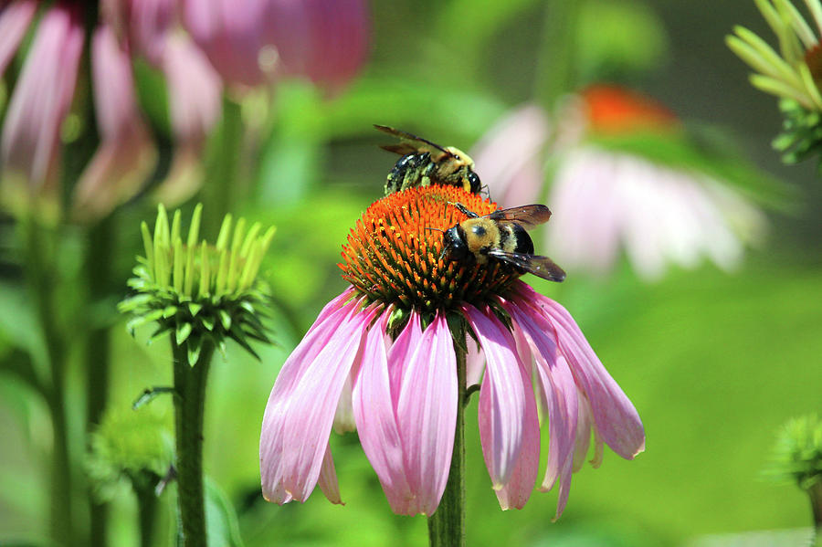 Two Bees On Coneflower by Cynthia Guinn