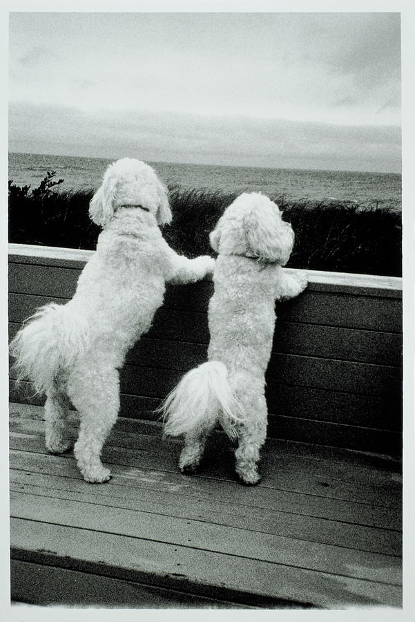 Two Bichon Frise Dogs Standing On Hind Photograph by Bruce Laurance