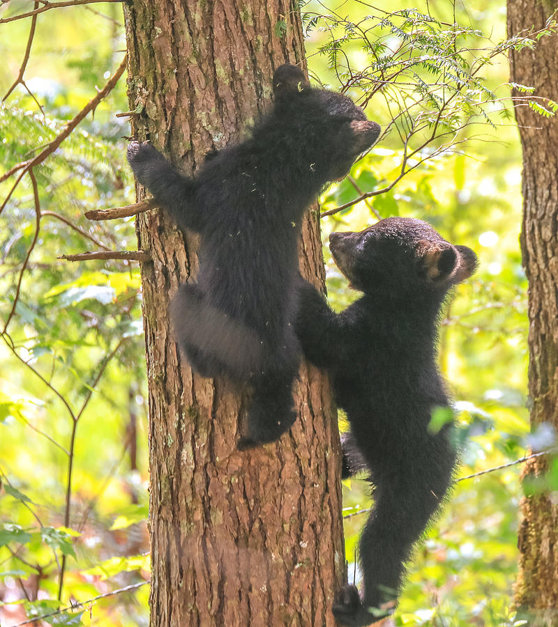 Two Black Bear Cubs On A Tree by Dan Sproul