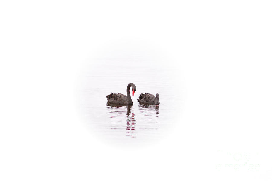 Two Black Swans on Swan River by Carolyn Parker