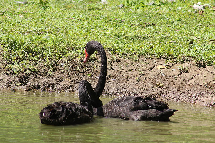 Two Black Swans, Cygnus Atratus Swimming In A Pond Photograph