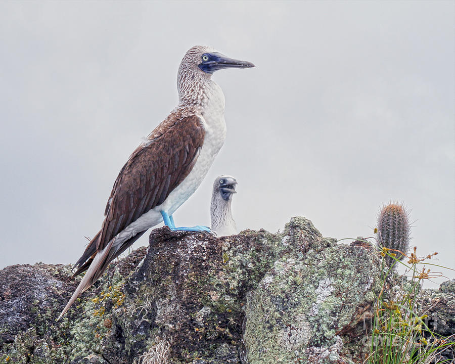Two Blue-Footed Boobies by Catherine Sherman