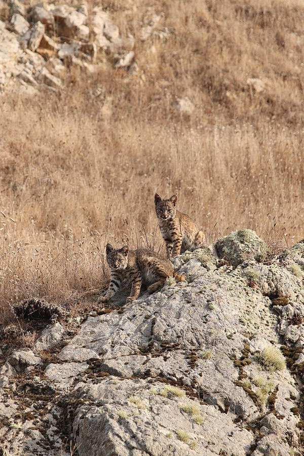 Two Bobcat Kittens by Paul Comish
