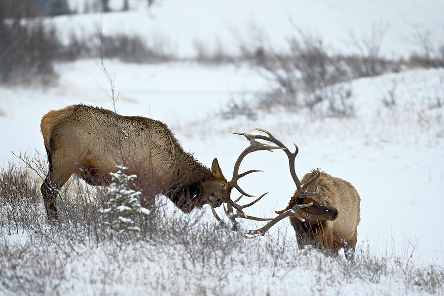 Two Bull Elk Cervus Canadensis Sparring Photograph by James Hager / Robertharding