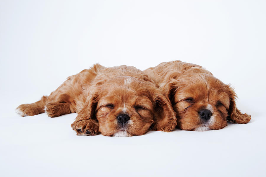 Two Cavalier King Charles Spaniel Photograph by Martin Harvey