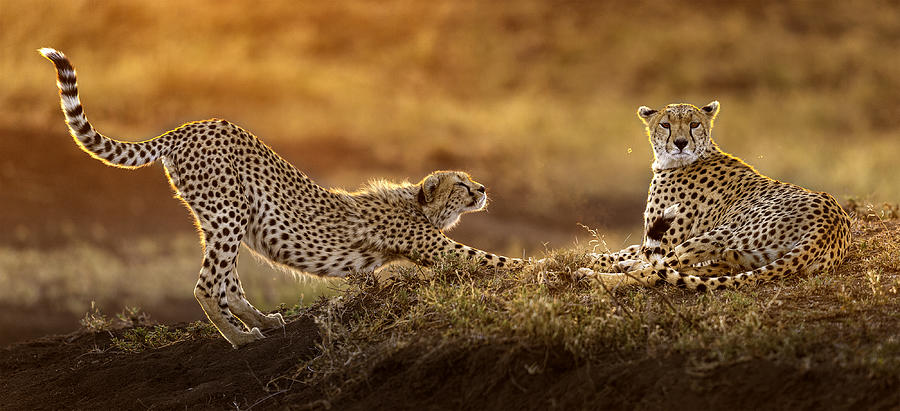 Cheetah Photograph - Two Cheetahs by Hung Tsui
