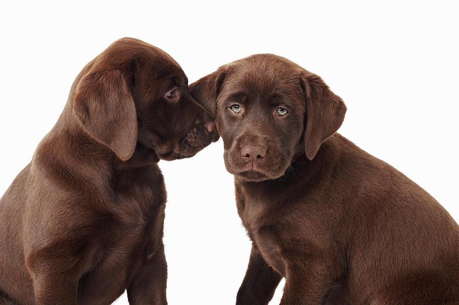 Two Chocolate Labrador Retriever Puppies Photograph by Uwe Krejci