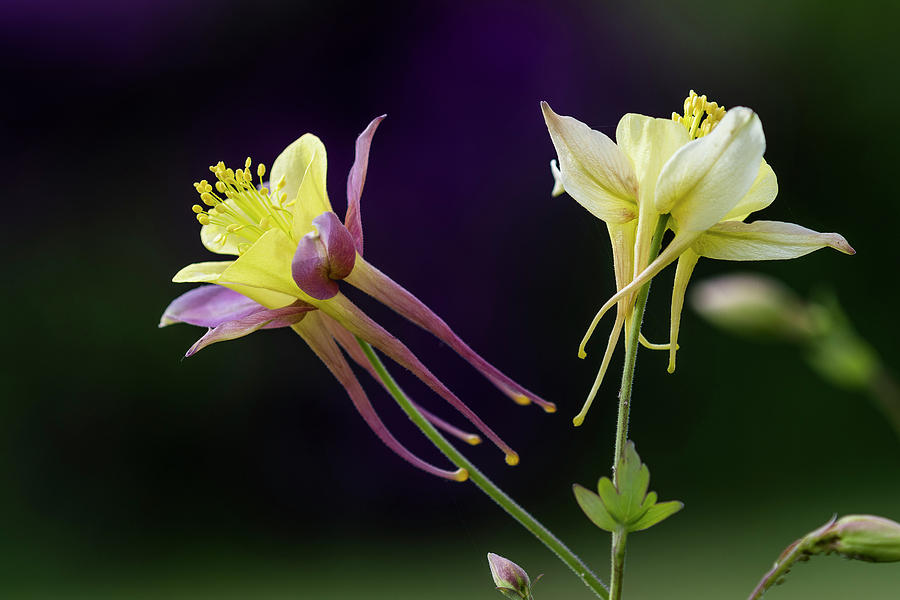Two Columbine  by Robert Potts