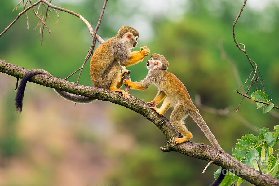 Small Photograph - Two Common Squirrel Monkeys Saimiri by Nick Fox