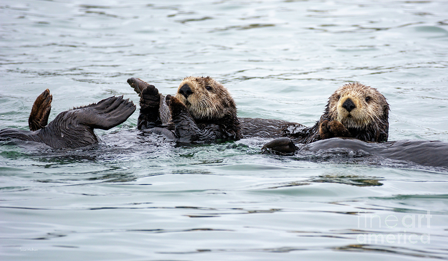 Two Cute Sea Otters Grooming Photograph By Susan Wiedmann