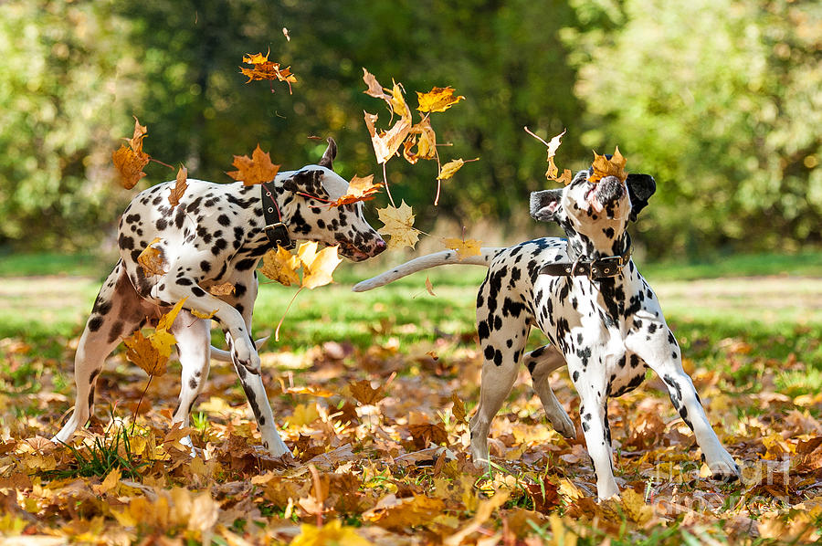 Play Photograph - Two Dalmatian Dogs Playing With Leaves by Grigorita Ko