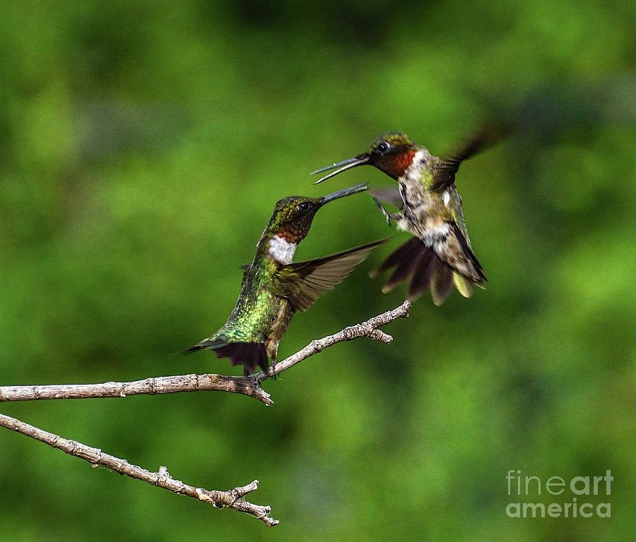 Hummingbird Photo Photograph - Two Dueling Male Ruby-throated Hummingbirds by Cindy Treger