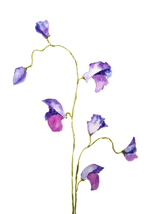 two elegant sweet peas flower by Color Color