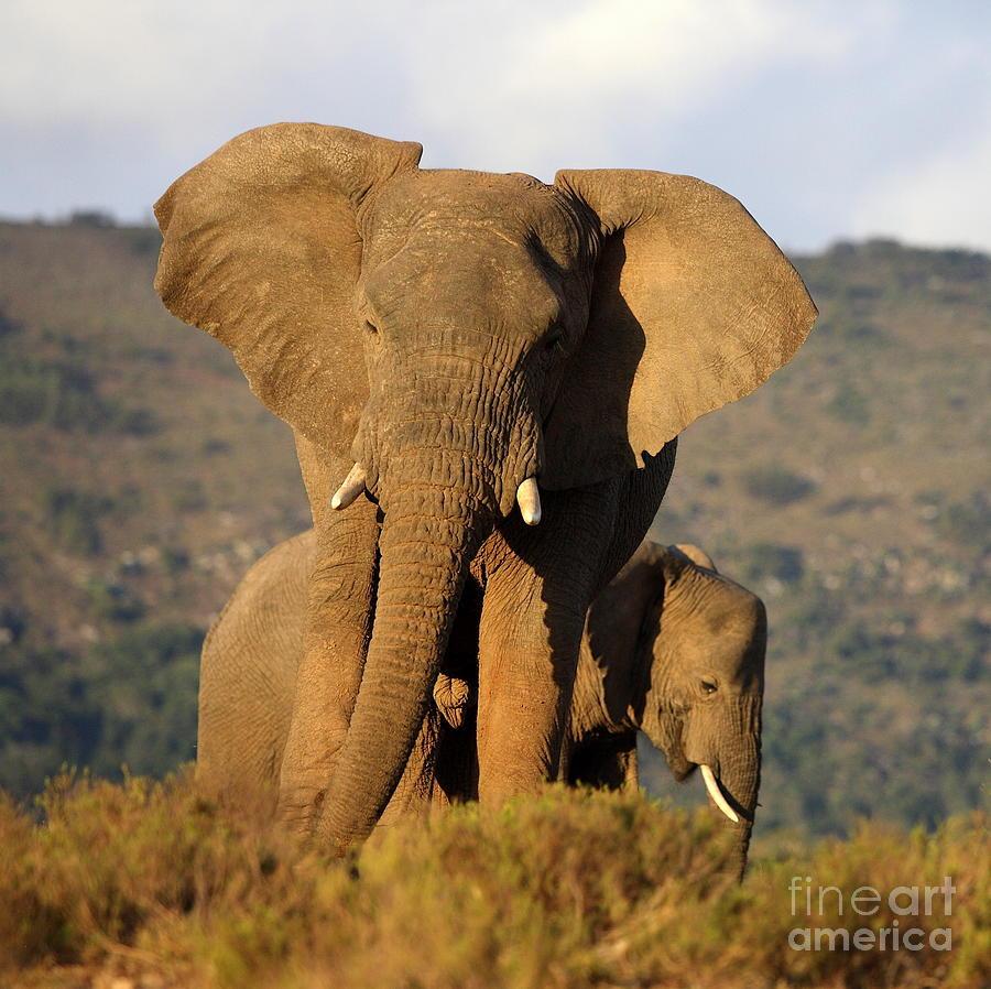 Big Photograph - Two Elephants In Golden Light. Taken On by Jonathan Pledger