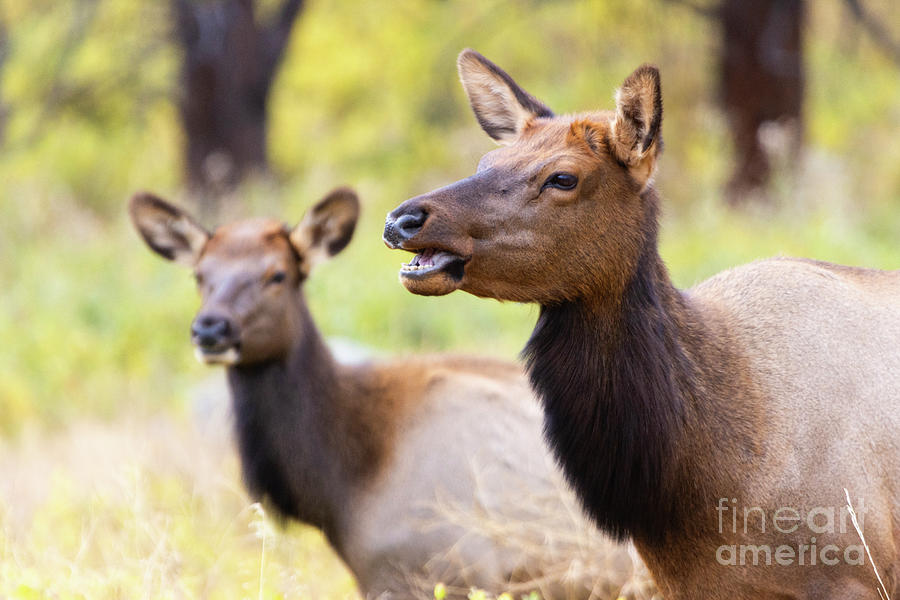 Two Elk Cows On A Beautiful Rocky Mountain Evening Photograph