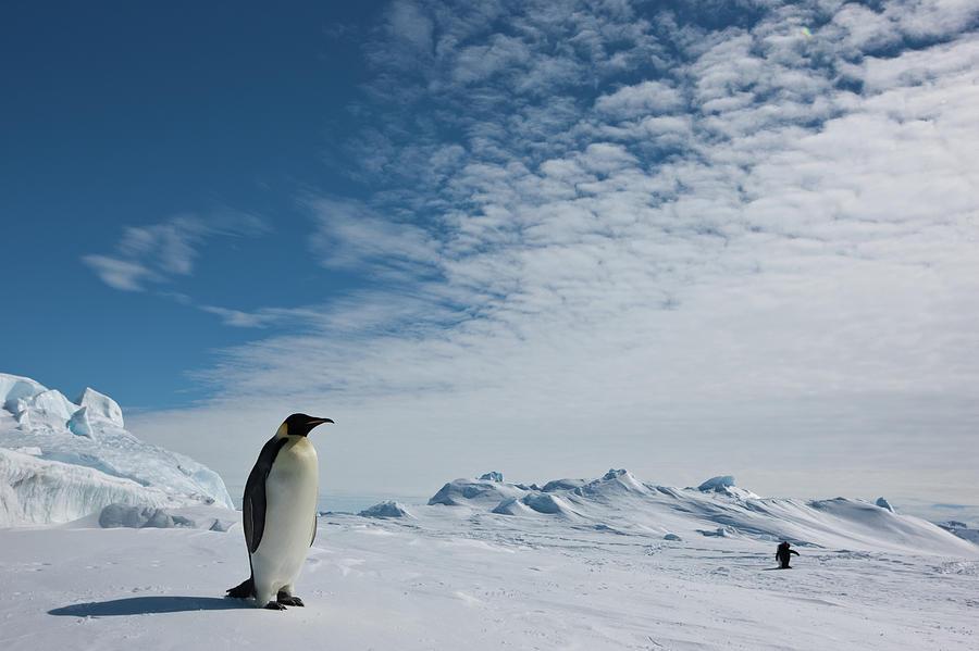 Two Emperor Penguins Photograph by A Gandola