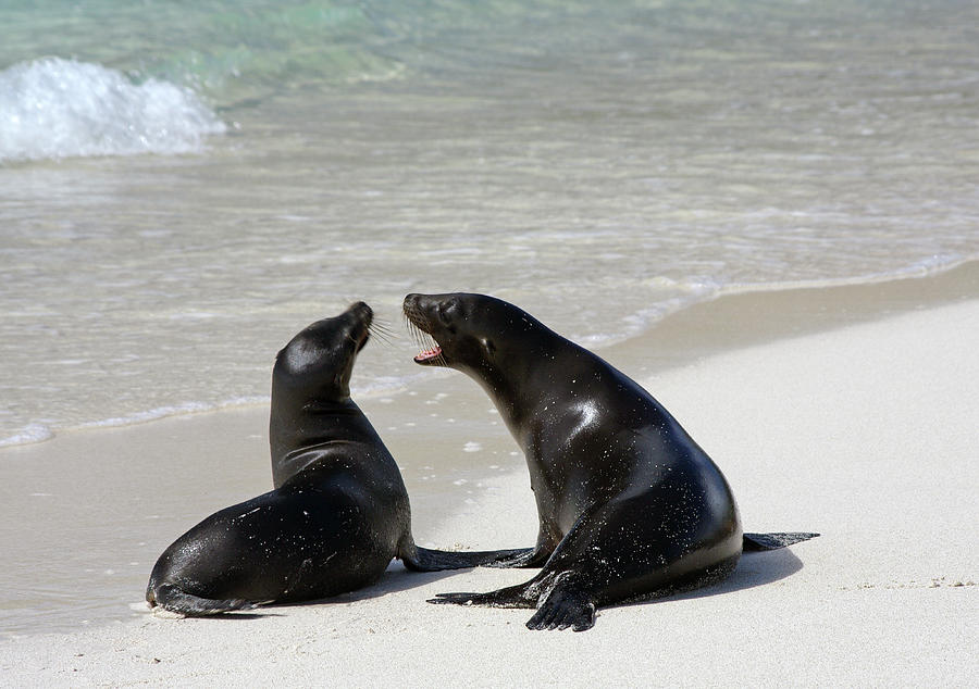 Two Galapagos Sea Lions Photograph by Photography By Jessie Reeder