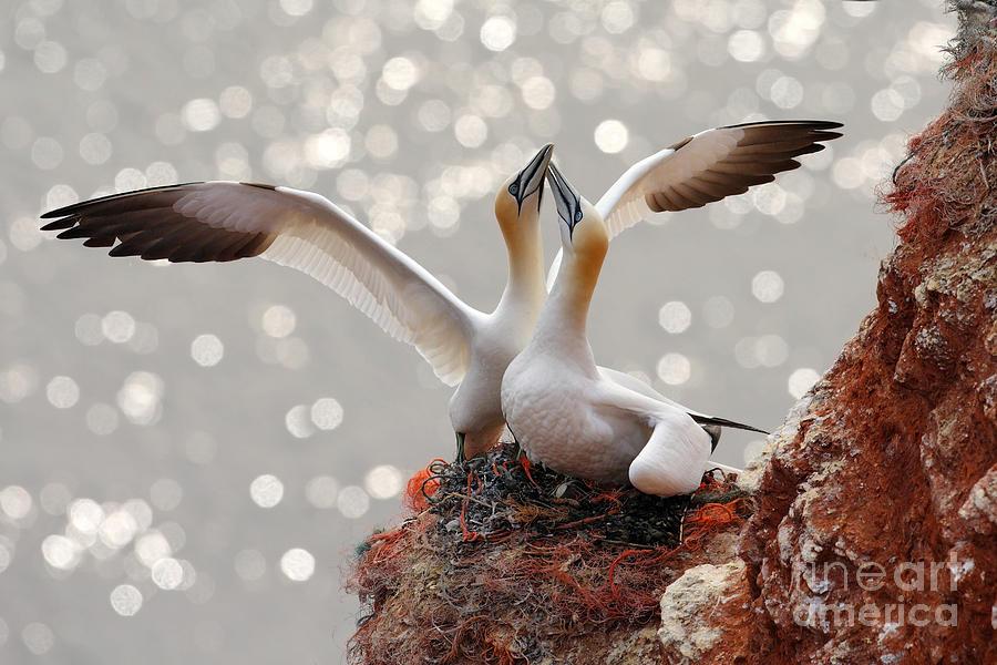 Beak Photograph - Two Gannets Bird Landing On The Nest by Ondrej Prosicky