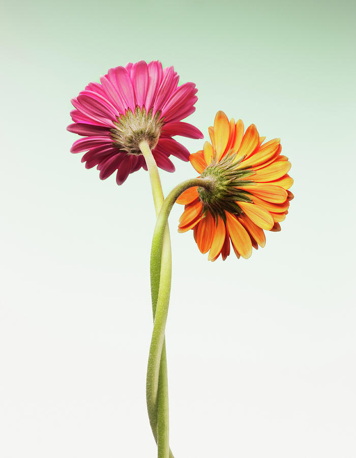 Two Gerbera Daisies Intertwined Photograph by Chris Ryan
