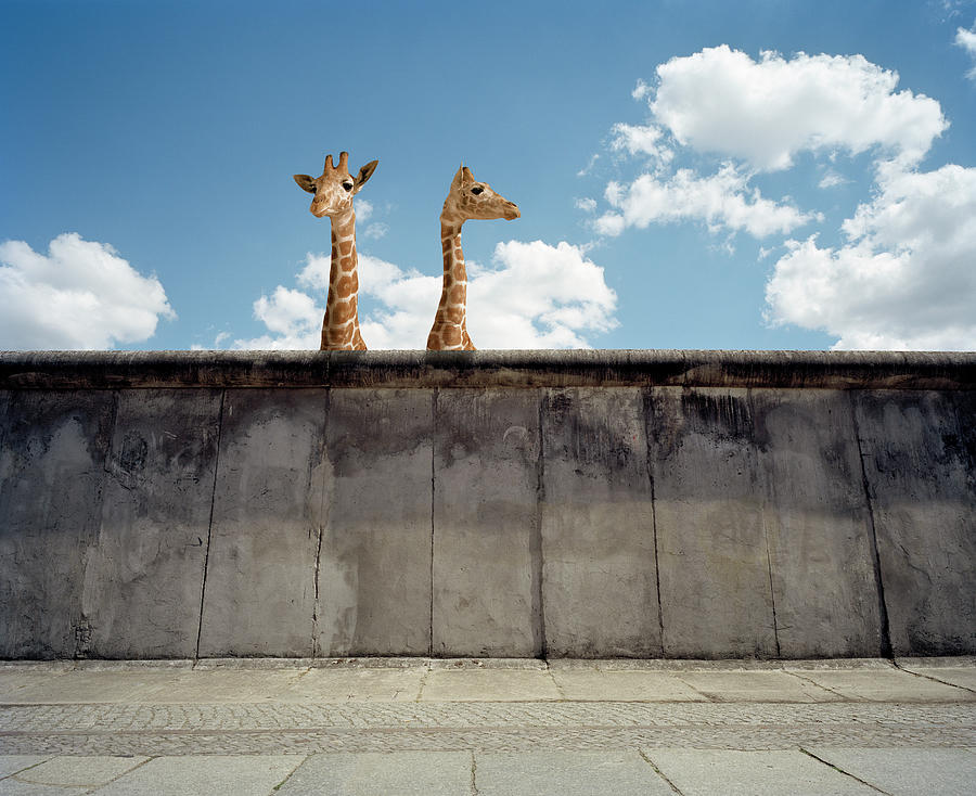 Two Giraffes Watching From A Wall Photograph by Matthias Clamer